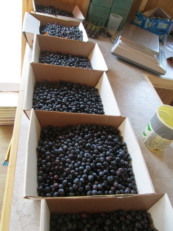 Some of the 90lbs of berries