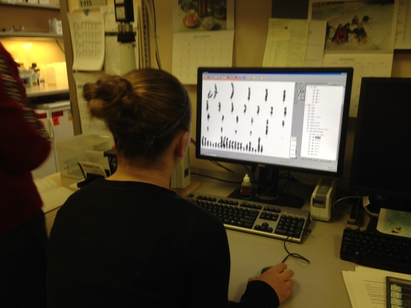 Here a student works on karyotyping a human cell. The student is matching chomosomes using computer technology.