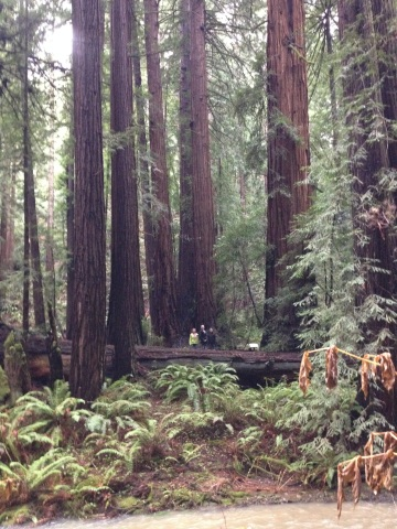 (Teresa  Larose, Sophie Lee and Rebekah Larose standing among giant redwoods at Muir Woods National Monument.)