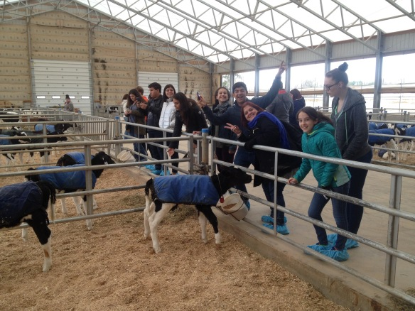 "(BFA students and Puerto Rican students and teachers enjoy the calf barn at Bill Rowell's ""Cow Power"" farm in Sheldon, VT.)"